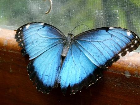 morpho: Blue Morpho butterfly in Costa Rica