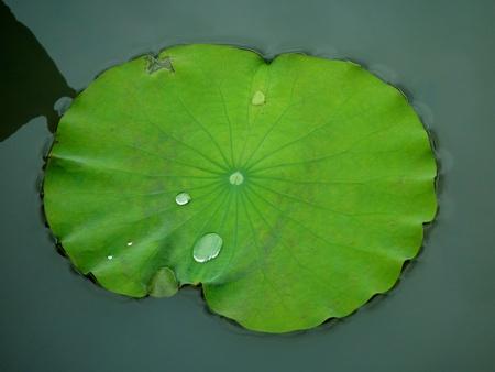 nenuphar: Nenuphar leaf in Vietnam Stock Photo