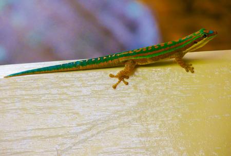 blindly: Little green lizard at Mauritius island