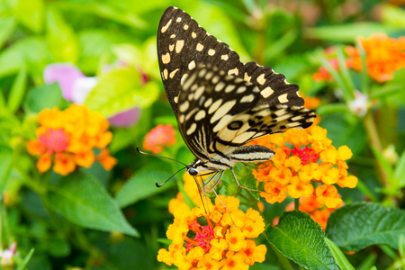 Lime butterfly (Papilio Demoleus Malayanus) on flower in Chiang Mai, Thailand