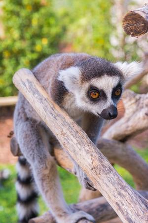 monkies: Ring-tailed lemur (Lemur catta) during a summer day
