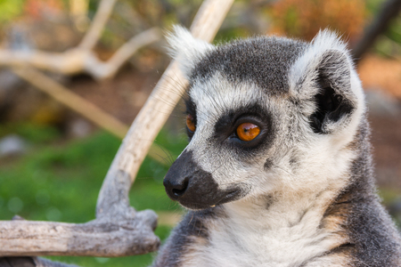 Ring-tailed lemur (Lemur catta) during a summer day