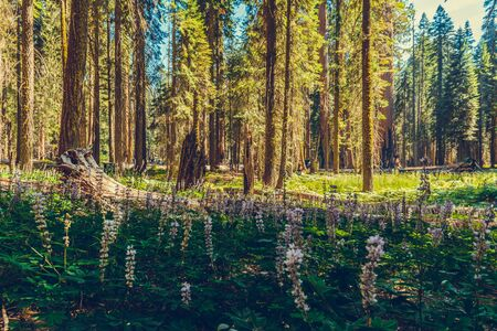 Flowers at Sequoia National Park in California, USA