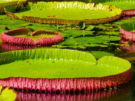 Sir Seewoosagur Ramgoolam Botanical Garden in Pamplemousses, Mauritius island Stock Photo