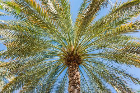 Palm tree close up on blue sky background in Dubai, United Arab Emirates