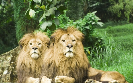 two lions photo