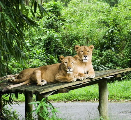 female lion: female lions resting in the jungle