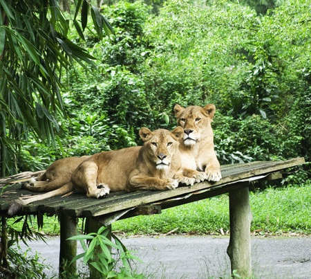 female lion: female lions resting Stock Photo