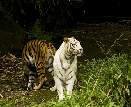 subspecies: white tiger Stock Photo