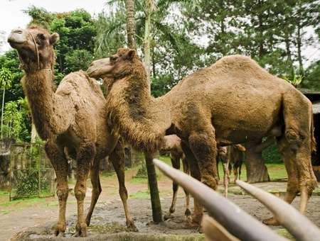 persian gulf: camels