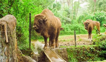 kine: savage bull