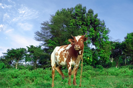 cow on a field Stock Photo