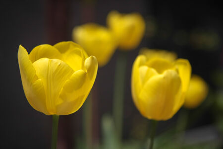 purposely: Yellow tulips garden view; the shallow depth of field was set purposely only on one of the tulip Stock Photo