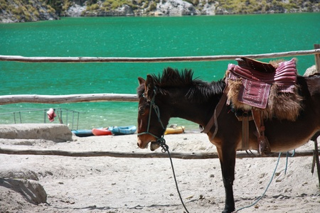 quechua: A donkey waiting in the Quilotoa volcanic lake. Ecuador.