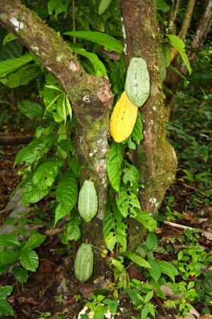 Kakaofrucht auf einem Baum. Amazonas-Regenwald in Ecuador.