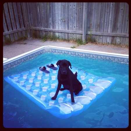 Black lab puppy floating in the pool.