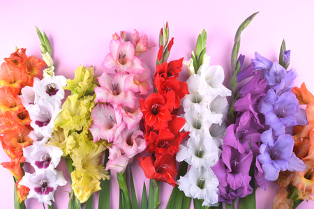 Beautiful gladiolus flowers on trendy pink background. Flat lay style with place for your text.