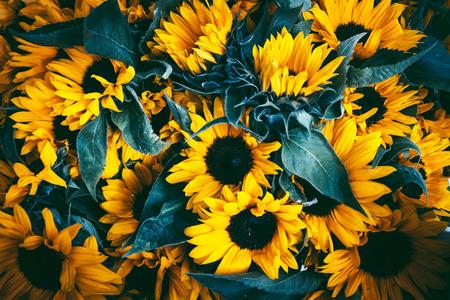 Schöne feenhafte träumerische magische Sonnenblumen mit dunklem Blatthintergrund. Standard-Bild - 89194739