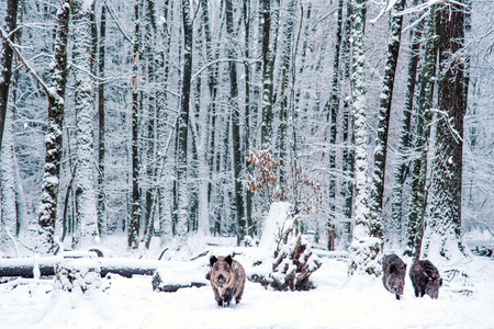 Wild boar in the winter Black Forest, Germany. 스톡 콘텐츠