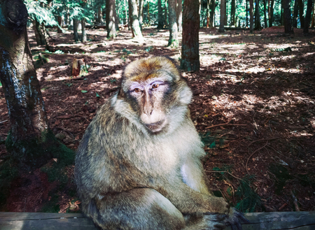 Barbary macaque in the forest natural park, Alsace, France