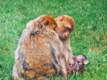 Barbary macaque family in the natural park.