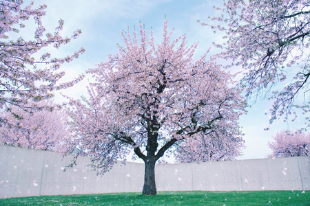 Park with blossoming large cherry trees. Kho ảnh