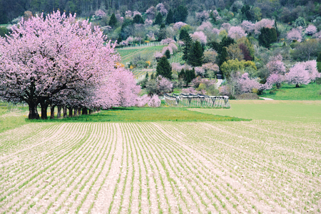 Blossoming large cherry trees on a field.