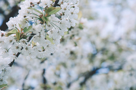 Flowers of the cherry blossoms on a spring day.