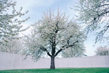 Large cherry trees on a fresh green lawn.