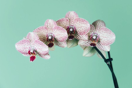 Phalaenopsis Orchid on a geen background.