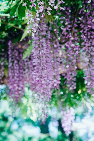 Wisteria Flowers in a park.