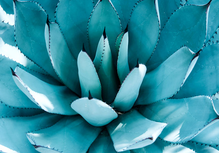 Closeup view of a blue agave plant. Nature concept.