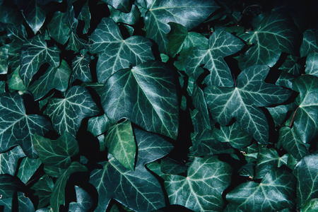 A wall of common ivy as a background or texture. Hedera helix.