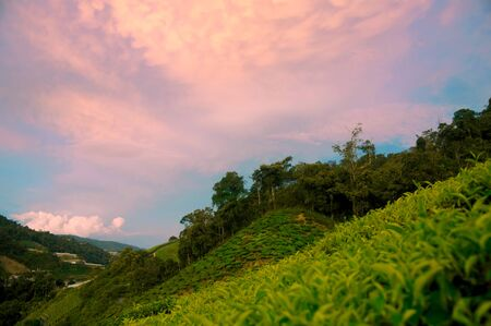 Tea plantations in the Cameron Highlands, Malaysia. Standard-Bild