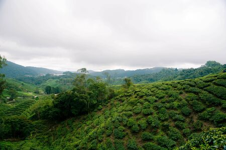 Tea plantations in the Cameron Highlands, Malaysia. Zdjęcie Seryjne
