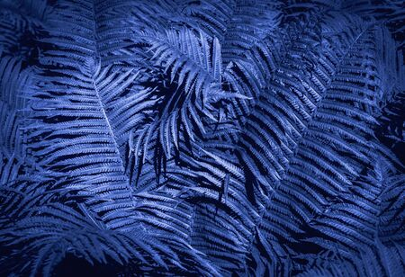 Beautiful background made with blue fern leaves. Tropical background. Trendy color