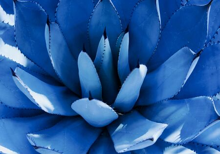 Closeup view of a blue agave plant. Nature concept. Trendy color 2020.