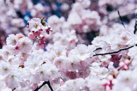 Flowers of the cherry blossoms on a spring day. Nature concept. Stok Fotoğraf