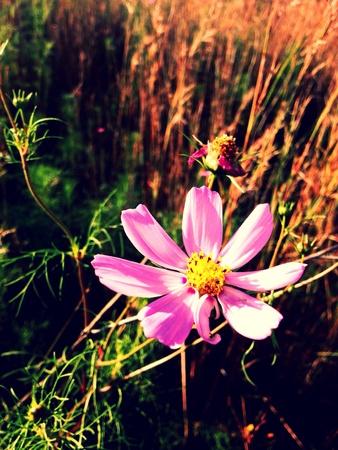 singular: A singular cosmos flower