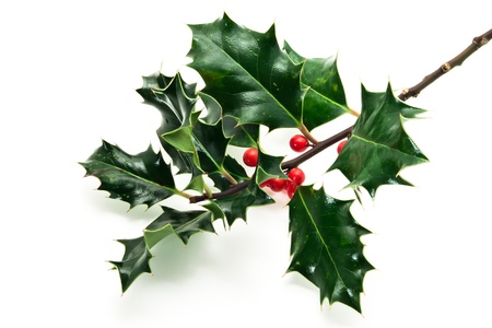 Holly twig on white background