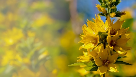 Close-up of yellow loosestrife on blurry background