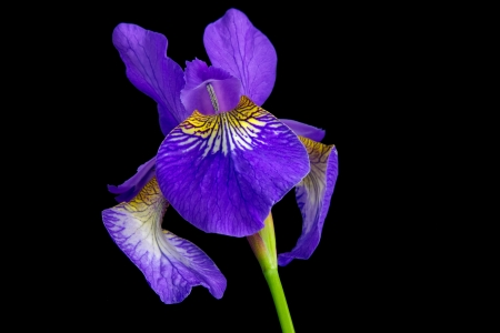 purple iris: Single iris versicolor or blue flag on black background