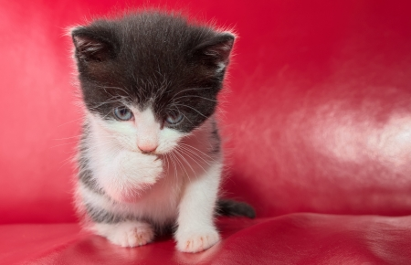 Small kitten sitting on red leather while it is stairing straight at you