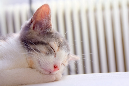 Grey and white kitten sleeping with its head resting on its paws