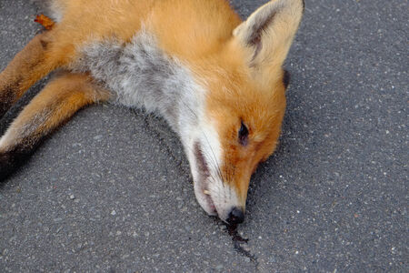 overrun: Head shot of a fox which has been driven over by a car