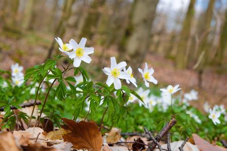 flor: Wild growing anemones on a wood flor