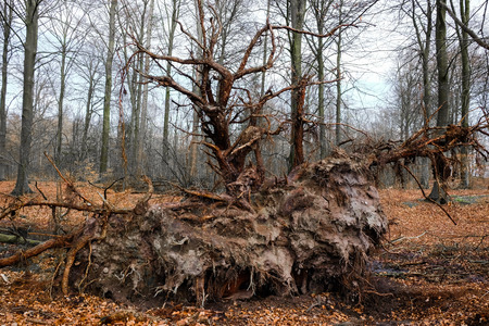 toppled: tree root of a fallen pine tree in the woods Stock Photo