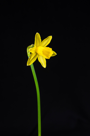 one miniature daffodil on a dark surface Stock Photo