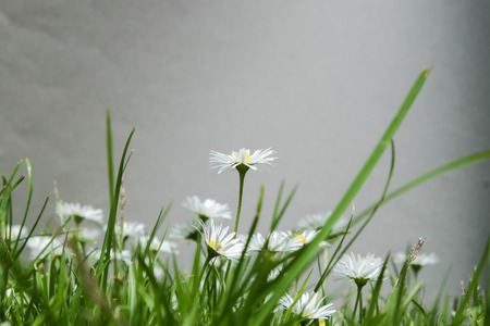 daisie: Group of daisies in a lawn