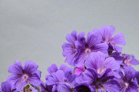 Group of purple geranium flowers Stock Photo